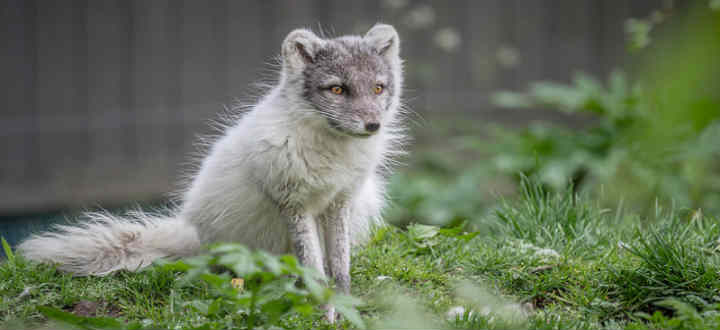 The only native mammal in all of Iceland is the beautiful Arctic fox. Now under threat. PIC Jean van der Slujis