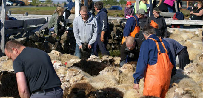 The sheep-roundup or Réttir as its called in the local language. PIC Gudrun Osk Arsaelsdottir