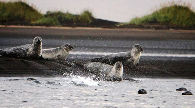 Seals at the end of the world in Iceland
