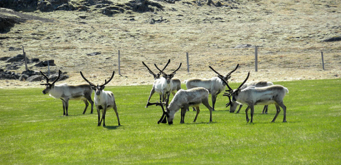 Oftentimes one finds a group of wild reindeer grazing in the Jokuldalur valley without a care in the world. PIC Jason Paris