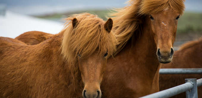 The lovely ponies of Iceland