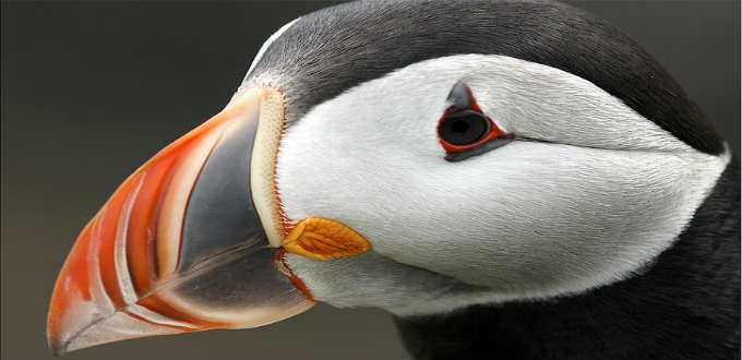 A huff and a puff and the puffins are gone from Iceland